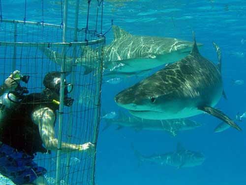 Studying Tiger Shark Movements Bahamas News