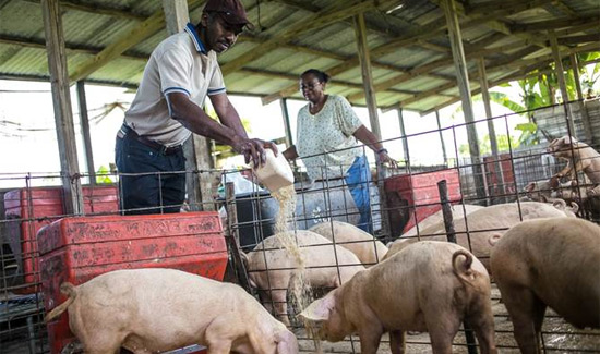 Melia Nassau Beach Inspires Re-launch of Pig Farm