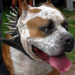 Pit Bull In Spikes