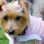 Yorkie In Pink